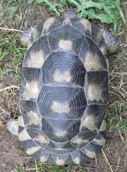 weibliche Breitrandschildkröten NZ