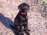 Welpe Pudel Labrador-