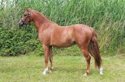 Welsh Pony (3-