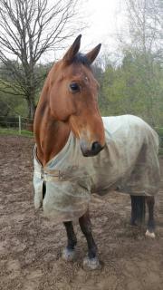 Westfalen Wallach, Pferd,