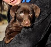 Wünderschönes Labradormädchen in