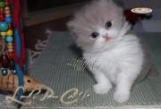 Wunderschöne BLH Katzen-