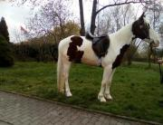 Wunderschöner Paint Horse