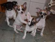wundervolle reinrassige Chihuahuawelpen