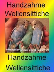 Zahme Wellensittiche, Wellis -