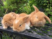 Zergwidder Kaninchen Baby'
