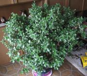 zimmerpflanze 185 cm gro in stuttgart pflanzen kaufen und verkaufen ber private kleinanzeigen. Black Bedroom Furniture Sets. Home Design Ideas