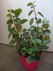 Zimmerpflanze - rankend und