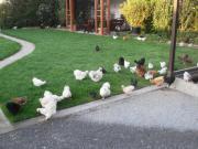 Zwerg - Seidenhühner in