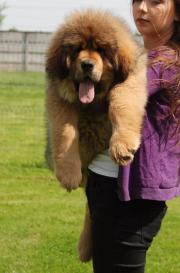 10084; Tibetan Mastiff -