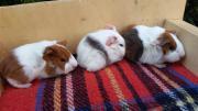 3 Meerschweinchen Jungs