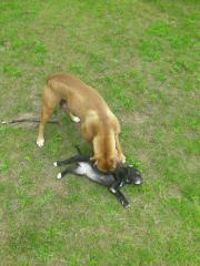 Alternativ Bulldog Welpen