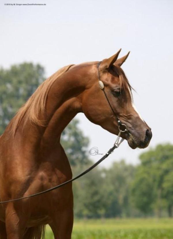Araber Pferde F 252 R Freizeit Schau Zucht Western Distanz