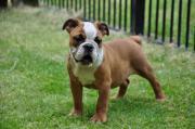 Aussergewöhnliche Engl. Bulldog