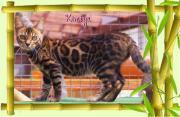Bangal Katze m.