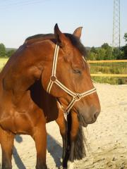 Beistellpferd/ Freizeitpferd sucht