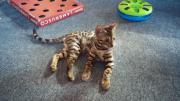 Bengal-Katze männlich,