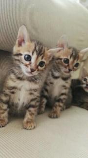 Bengal Kitten (reinrassig)