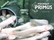 Besatzfische! 10 Albino