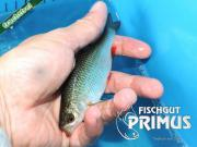Besatzfische - 15 Rotfedern ca 10-15