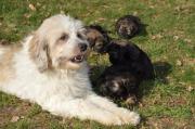 bezaubernde Tibet Terrier