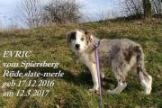 Border Collie-Welpen ,