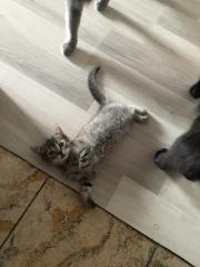 Britisch Kurzhaarmix Katzenbabys