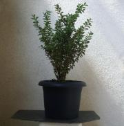 Buchsbaum Kübelpflanze in