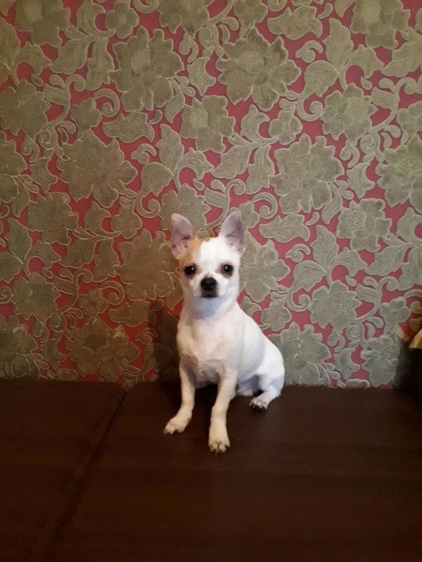 Chihuahua rüde » Hunde