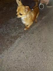 Chihuahua Rüden