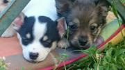 Chihuahuamix Welpen