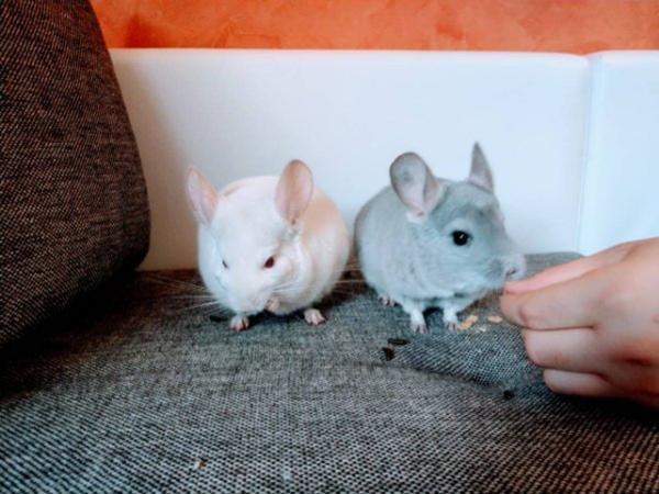 Chinchilla Pärchen perfekt » Kleintiere