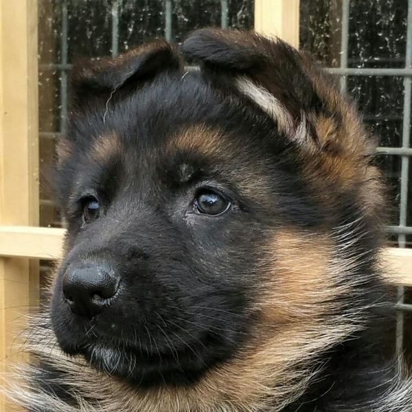 Deutscher schaferhund polnisch