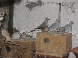 Diamanttauben kleine Ziertauben Vögel Tauben: Kleinanzeigen aus Birkenheide Feuerberg - Rubrik Vögel