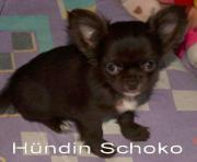 Drei kleine Chihuahuas