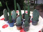 Feigen-Kaktus-Ableger