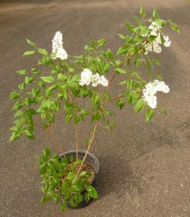 Pflanzen - Flieder Fliederbusch weiß violett blau