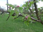 Gartengrundstück / Obstbaumwiese in