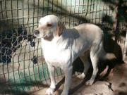 GOKU - schüchterner Labradormix