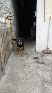 Goldenretriewer labrador mischling
