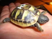 Griech Schildkröten TH Boettgerie NZ