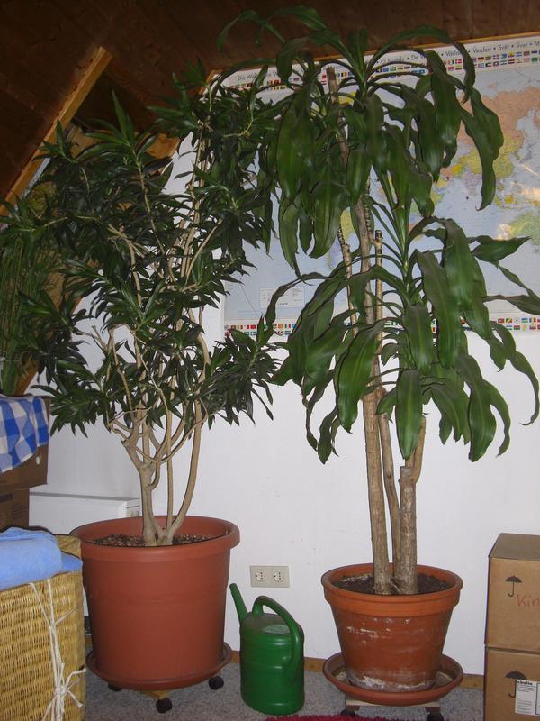 gro pflanzen b ropflanzen wintergarten hohe r ume in weil der stadt pflanzen kaufen und. Black Bedroom Furniture Sets. Home Design Ideas