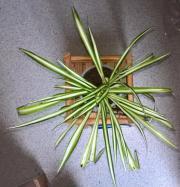 Grünlilien als Luft-Reiniger gut bewurzelt -