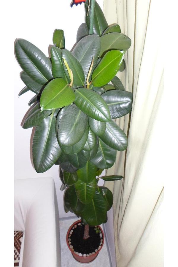 GUMMIBAUM ficus elastica » Pflanzen