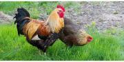 Hähne / Hühner / Küken /