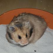 Hamster Männchen sucht