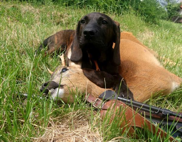 Hannoversche Schweisshund Welpen » Hunde