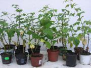 Himbeer-Pflanzen 1