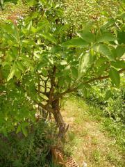 Holunderbusch Holunder Busch Pflanze Pflanzen