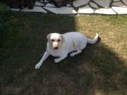 Hund - Labrador weiß